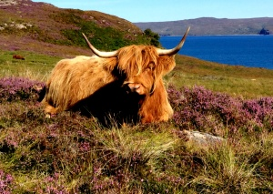 Highlander in the heather, laying about the loch....